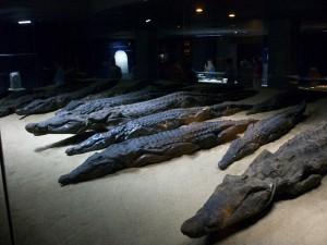 Mumifizierte Krokodile