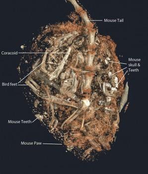 Ein 3D Bild von den Knochen und Zähnen im Magen der Greifvogel-Mumie SACHM 2575. Bild: ©Stellenbosch University