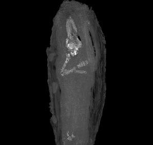 Die oberen Gliedmaßen des Fötus. Foto: Fitzwilliam Museum, Cambridge